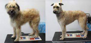 trimmen voor en na hondenpension ovidefarm